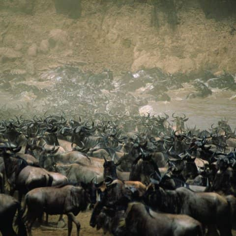 Wildebeest natural cycle is a thing of beauty